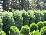 boxwood wholesale hedge and edge
