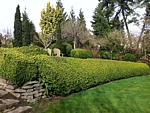 winter gem boxwood hedge garden