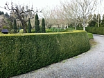 common boxwood hedge