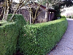 lovely boxwood hedge used in landscape