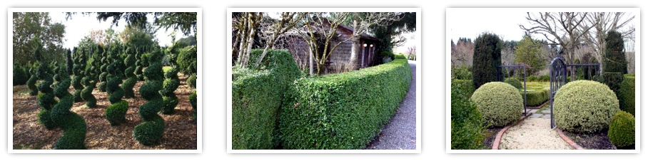 globe topiary, wholesale boxwood, hedges, landscape topiary