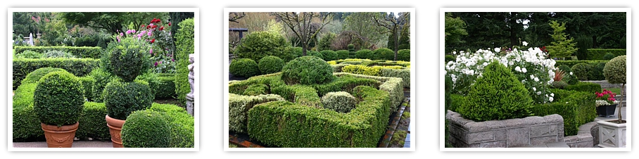 globe boxwood topiary, wholesale boxwood, boxwood hedges, landscape boxwood
