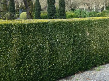 Buxus sempervirens (common boxwood)