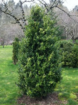 Buxus sempervirens 'Green Tower'