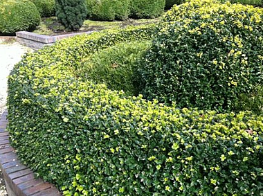 Buxus sempervirens 'Vardar Valley""