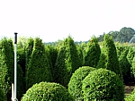 wholesale boxwood topiary and hedge nursery