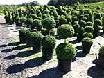 two globe topiary, wholesale boxwood nursery