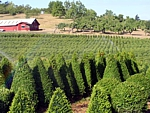 boxwood topiary nursery, wholesale