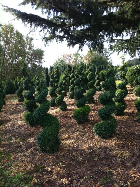 Spiral Boxwood Topiary