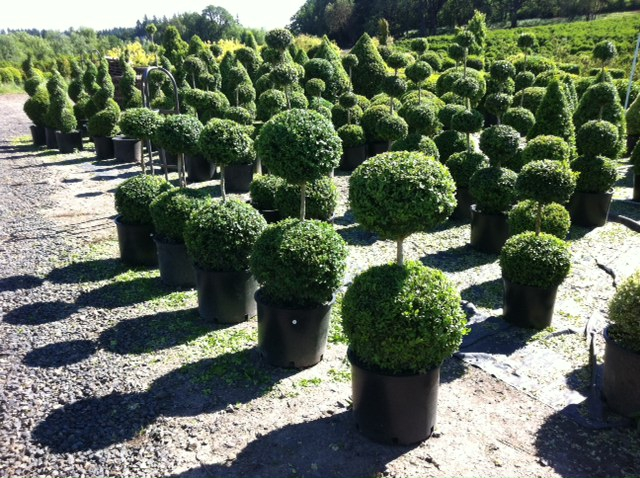 Boxwood Garden Landscape, Boxwood Hedge And Topiary, Two Globe Topiary,  Wholesale Boxwood Nursery ...