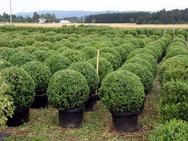 Globe Topiary Nursery